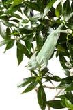 Veiled Chameleon hang down on plant Stock Photo