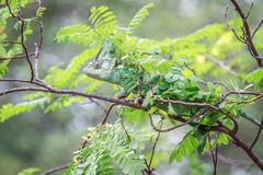 Veiled Chameleon hiding on a branch. Stock Photo