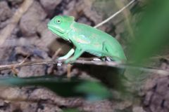 Veiled chameleon juvenile royalty free stock photo