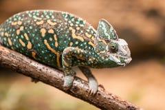 A veiled chameleon lizard Stock Images