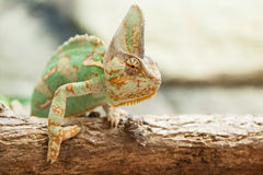 A veiled chameleon lizard Stock Images