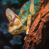 A veiled chameleon lizard Royalty Free Stock Images