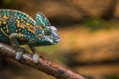 A veiled chameleon lizard Royalty Free Stock Photo