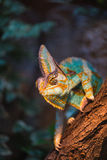 A veiled chameleon lizard Stock Photos