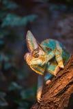 A veiled chameleon lizard Stock Photos