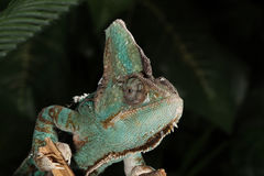 Veiled Chameleon Male - Chamaeleo calyptratus Royalty Free Stock Photo
