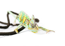 Veiled Chameleon. Picture of a cone headed Yemen chameleon climbing on a vine stock photography