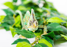 Veiled Chameleon. Picture of a cone headed Yemen chameleon walking on some leaves royalty free stock photo