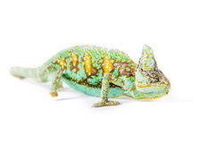 Veiled Chameleon. Picture of a cone headed Yemen chameleon on a white background royalty free stock images