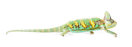 Veiled Chameleon. Picture of a cone headed Yemen chameleon on a white background stock photo