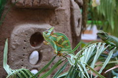 Veiled chameleon on a plant Royalty Free Stock Images
