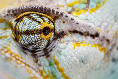 Veiled chameleon is staring at the camera Royalty Free Stock Photos
