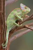 Veiled Chameleon in Tree 2. A veiled chameleon is sitting in a tree Royalty Free Stock Photo