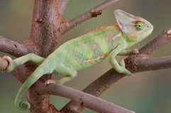 Veiled Chameleon in Tree. A veiled chameleon is climbing on some tree branches Stock Images