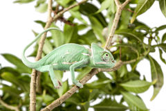 Veiled chameleon walking on a branch Royalty Free Stock Photography