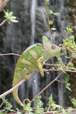 Veiled Chameleon with Waterfall background Royalty Free Stock Image
