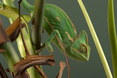 Veiled Chameleon (Chamaeleo Calyptratus) Stock Photos