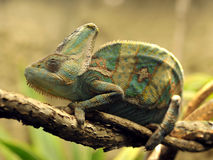 Veiled chameleon from yemen, united arab emirates Stock Photos