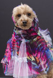 Veiled Dog Royalty Free Stock Photos