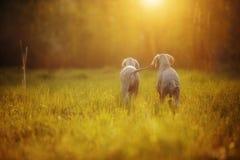Veimaraner gris de chiots dans le domaine au coucher du soleil photos stock