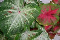 Two styles of beautiful caladium leaves. Vein details of two styles of beautiful caladium leaves close up stock photo