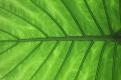 Vein of leaf Stock Photos