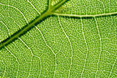 Vein of the leaf 2 Royalty Free Stock Photography