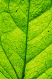 The vein of leaf Royalty Free Stock Photo