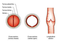 Vein valves. Sections through a vein showing the valve in both the open and closed positions Royalty Free Stock Images