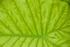 Veined лист Стоковое Изображение