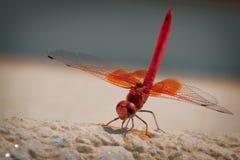 veined красный цвет dragonfly darter Стоковые Изображения RF