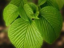 veined листья группы Стоковые Фото