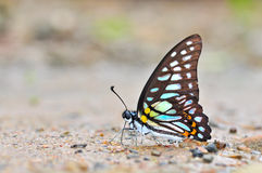 Veined Jay butterfly Royalty Free Stock Photo