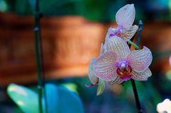 Veined orchids in bloom Royalty Free Stock Photo