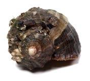 Veined rapa whelk изолированный на белой предпосылке Стоковые Фото