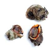3 veined rapa whelk изолированный на белой предпосылке Стоковое Изображение RF