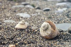 Veined rapa whelk, или venosa Rapana лежа на утесах на seashore Стоковые Изображения RF