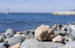 Veined rapa whelk, или venosa Rapana лежа на утесах на seashore Стоковое Изображение RF