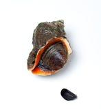 Veined rapa whelk и малая мидия Стоковые Изображения RF