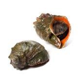 2 veined rapa whelk Стоковая Фотография