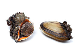 Veined rapa whelk and anodonta (river mussels) Stock Photos