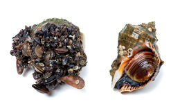 Veined rapa whelk covered with small mussels Royalty Free Stock Photos