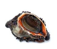 Veined rapa whelk overgrown с мидиями Стоковое Фото