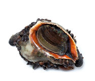 Veined rapa whelk overgrown with mussels Stock Photo