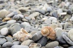 Veined rapa whelk, or Rapana venosa lying on rocks at the seashore. Closeup Royalty Free Stock Photos