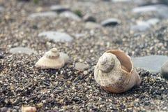 Veined rapa whelk, or Rapana venosa lying on rocks at the seashore. Closeup Royalty Free Stock Images