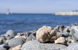 Veined rapa whelk, or Rapana venosa lying on rocks at the seashore. Closeup Royalty Free Stock Image