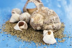 Veined rapa whelk, or Rapana venosa and sand on bright blue background. Closeup Royalty Free Stock Images