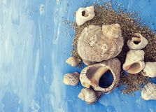 Veined rapa whelk, or Rapana venosa and sand on bright blue background. Closeup Royalty Free Stock Photos