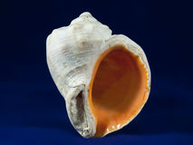 Veined rapa whelk Stock Photography